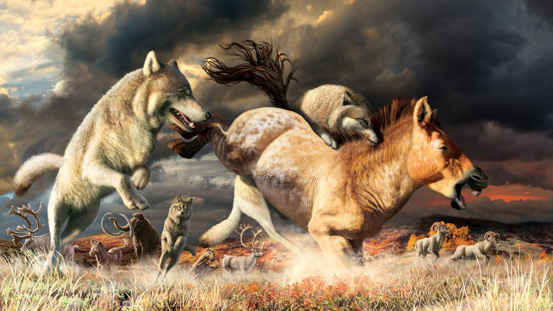 Shift In Diet Allowed Gray Wolves To Survive Ice-Age Extinction