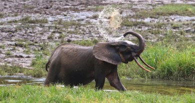 A team of scientists compared methodologies to count African forest elephants (Loxodonta cyclotis), which were recently acknowledged by IUCN as a separate, Critically Endangered species from African savannah elephants. CREDIT WCS Gabon