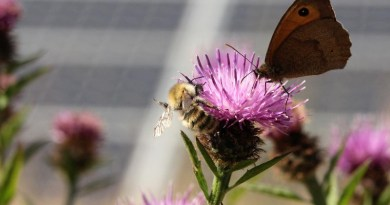 Pollinators in a solar farm. CREDIT Solar Energy UK & Sarah Cheesbrough