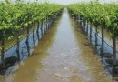 Flooding vineyards and increasing groundwater recharge, Terranova Ranch, near Fresno, California, diverts water from a full flood-control channel. CREDIT Courtesy Terranova Ranch Inc.