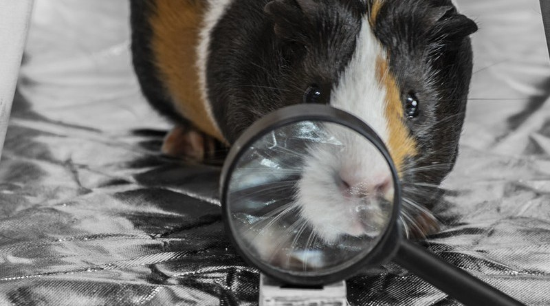 Pet Guinea Pig Magnifying Glass Given Rodent
