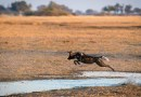 An African wild dog crosses a small channel in the Okavango Delta in Botswana. Swamps, rivers and lakes, on the other hand, are usually hardly surmountable obstacles. (Image: Dominik Behr)