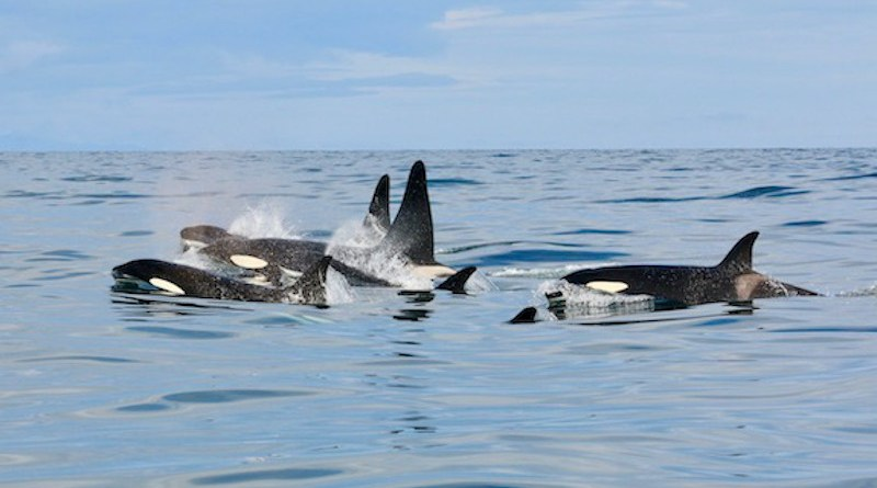 These killer whales may appear healthy, but a new study has found extremely high levels of PCB contamination in some of the whales. There was a 300-fold difference between the levels of PCBs among the most contaminated orcas compared to the least contaminated ones. The variation was mainly due to their eating habits. CREDIT: Filipa Samarra - Icelandic Orca Project
