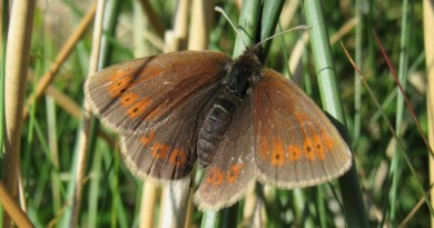 Mountain Ringlet butterfly CREDIT Melissa Minter, University of York