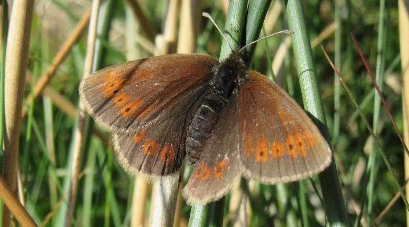 Mountain Ringlet butterfly CREDIT Melissa Minter, University of York