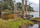 Ghost forest in the Nags Head Woods ecological preserve, North Carolina. Photo Credit: NC Wetlands, Wikipedia Commons