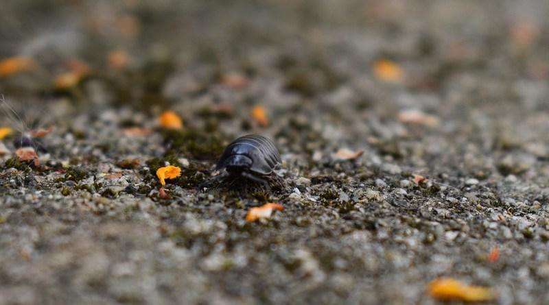Insect Woodlouse Close Bug