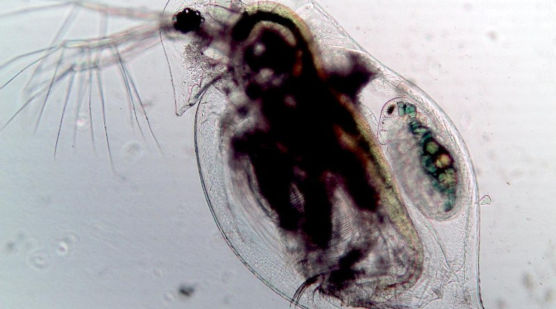 A zooplankton (Daphnia dentifera) infected by the fungal parasite Metschnikowia bicuspidate. The microscopic fungal spores filling the body as visible as black fuzzy spots. CREDIT Tara Stewart Merrill