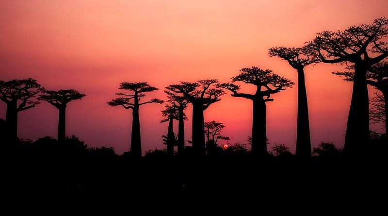 Madagascar Baobabs Trees Silhouette Landscape Sunset Dusk