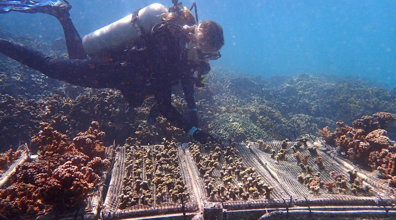 University of Pennsylvania biologist Katie Barott and colleagues found that corals maintain their ability to resist bleaching even when transplanted to a new reef. CREDIT S. Matsuda
