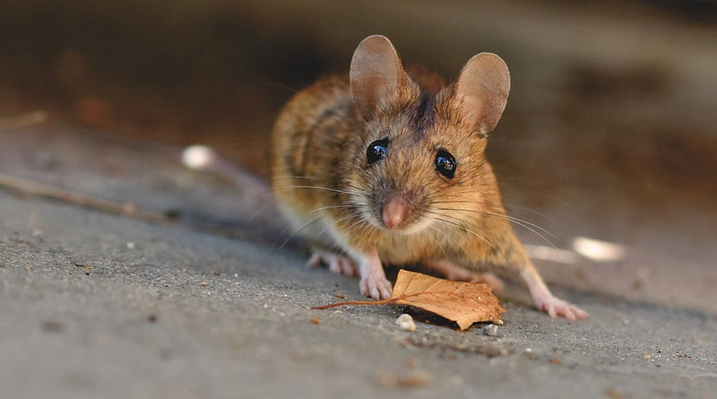 house mouse mice rodent