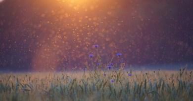 Cornflowers Sunset Mosquitoes Mosquito Swarm Field