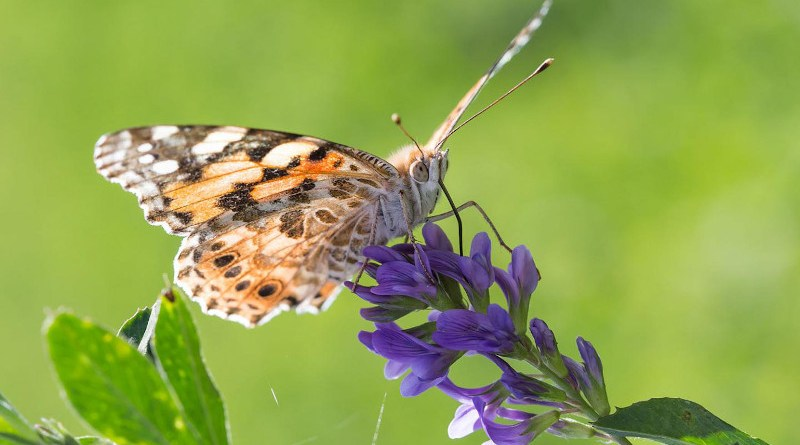 A Painted Lady butterfly in Morocco CREDIT Orio Massana
