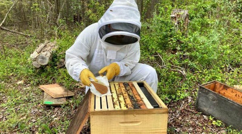 A Beemmunity employee, Abraham McCauley, applies a pollen patty containing microsponges to a hive as part of colony trials. CREDIT Nathan Reid