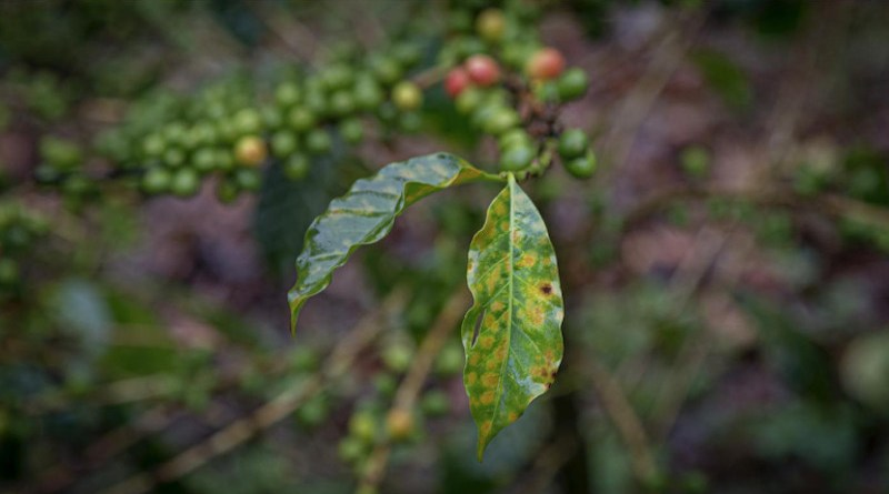 COVID-19's socio-economic effects will likely cause another severe production crisis in the coffee industry, according to a Rutgers University-led study. CREDIT Zack Guido
