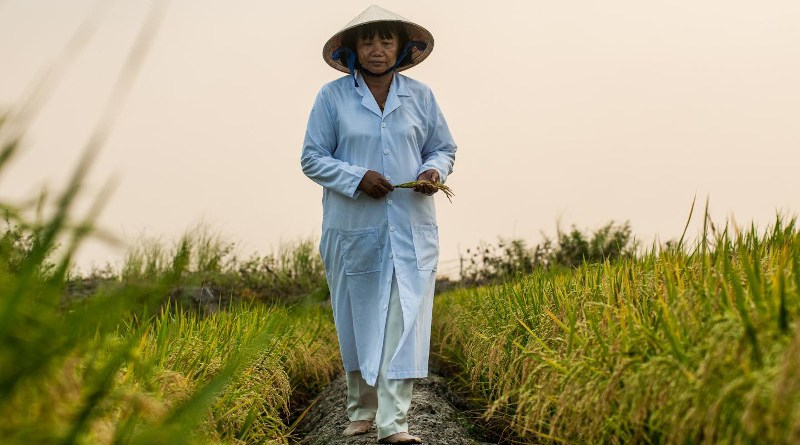 Working alongside international collaborators, the Earlham Institute's rice genomics project in Vietnam identifies new varieties to help breed climate-resilient rice crops. CREDIT Mekong Delta, Vietnam, March 2014. Credit: Georgina Smith, CIAT