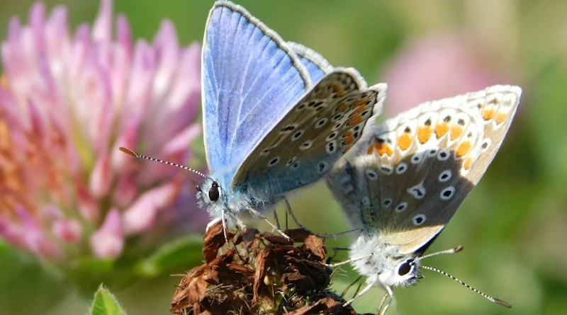 Male and female Polyommatus icarus mating CREDIT: Stephanie A. Rivest