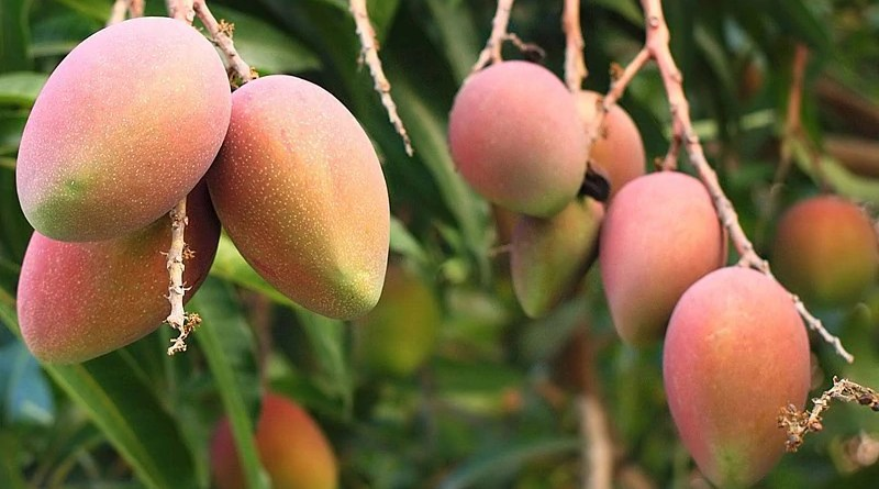 Fresh Haribhanga (Harivanga) Mangoes from Rangpur, Bangladesh. Photo Credit: Nasif05, Wikipedia Commons