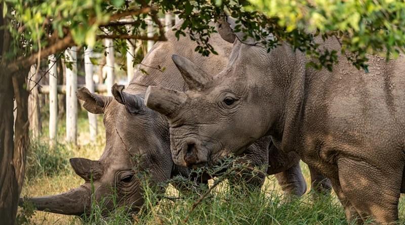 Last two northern white rhinos CREDIT: BioRescue - Rio the photographer