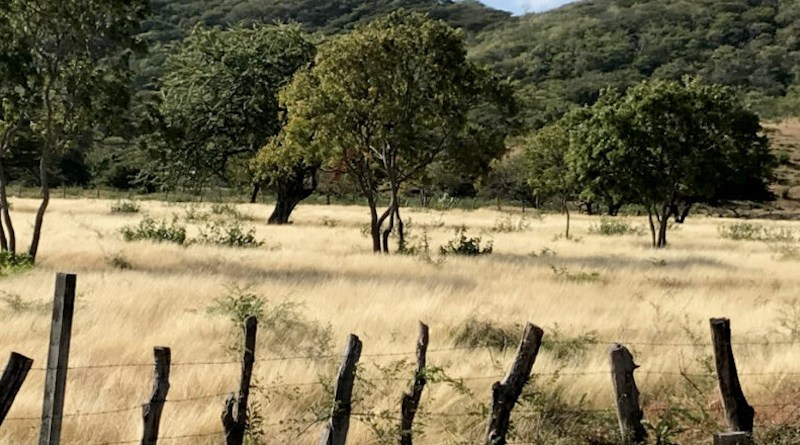 Pasture in Estelí Department, Nicaragua. The long dry season and low water table limit the amount of row crops that can be grown. Stockpiled pastures like this keep the ground covered to prevent erosion. Photo credit: R. Kohn, 2020]