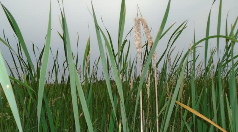 Scene from a constructed wetland in the Le Sueur River Basin. CREDIT Amy Hansen