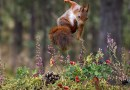 Squirrel Jumping Flowers Rodent Animal Mammal