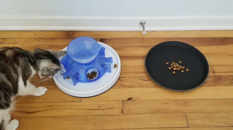 When cats were offered the choice of readily available food in a tray or working for it using a simple puzzle, cats most often chose the free food. CREDIT: Mikel Delgado/UC Davis