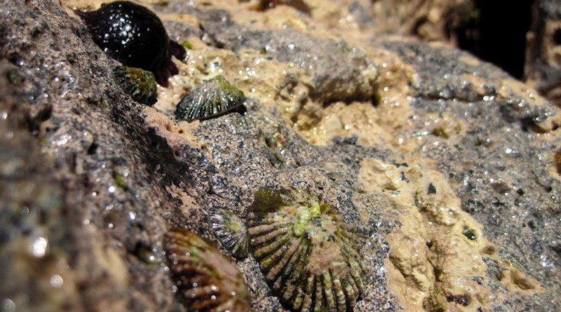 With their conspicuous conical shells, a group of five ʻopihi cling to rocks on the Hawaiian shoreline with a helmet urchin or haʻukeʻuke in the background. CREDIT: Kanoe Morishige