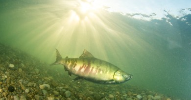 Up to 85 per cent of historical salmon habitat has been lost in the Lower Fraser River in British Columbia CREDIT: Photo by April Bencze / Raincoast Conservation Foundation