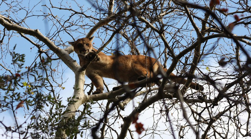 With the ability to climb trees and an evolutionarily honed ability to hide, mountain lions are adept at avoiding humans. By tracking the whereabouts of 12 mountain lions before and during the COVID-19 pandemic, ecologists have found that the reclusive species, briefly freed of the need to avoid people, adopted an energy-efficient economy of movement during LA's shutdown in spring 2020. CREDIT: National Park Service
