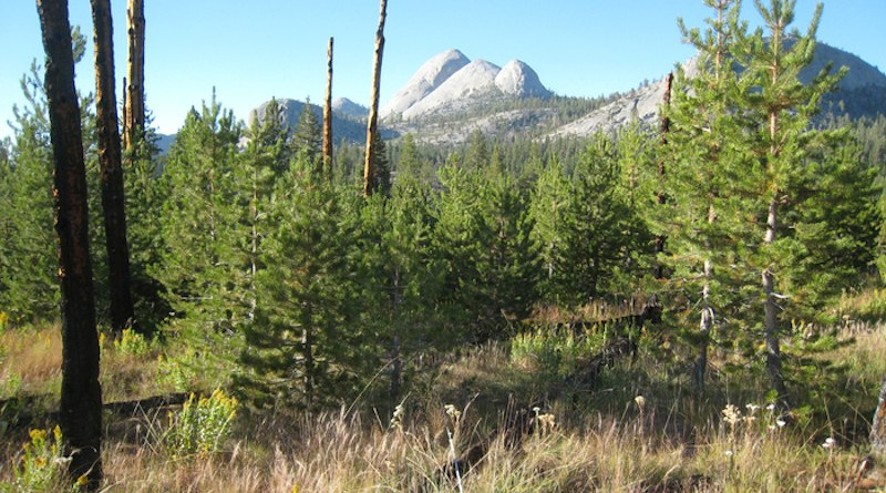 In Yosemite's Illilouette Creek basin, a stand of young Sierra lodgepole pine grow in a forest clearing that was created by wildfire 20 years prior. Mt. Starr King appears in the background. CREDIT: UC Berkeley photo by Scott Stephens