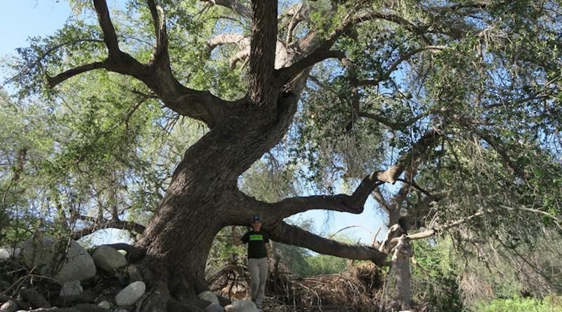 Quercus brandegeei, a threatened oak endemic to Mexico. Credit: The Morton Arboretum.