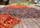 Agrifood certification standards encourage sustainable practices, especially for cocoa and coffee production. A new study from a team of international researchers evaluates the effectiveness of standards in mitigating food system challenges. CREDIT: Jorge Sellare.