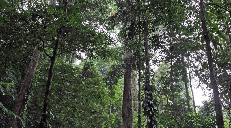 Giant trees in the mountain forest at an altitude of about 1,600 metres. Photo: Andreas Hemp.
