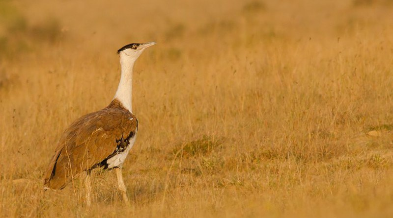 Birds such as the great Indian bustard are put at risk because of the power lines in the Thar Desert. Copyright: Prajwalkm, (CC BY-SA 3.0). This image has been cropped.
