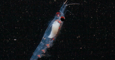 Krill in Svalbard waters. CREDIT: Geir Johnsen, CC-BY 4.0 (https://creativecommons.org/licenses/by/4.0/)