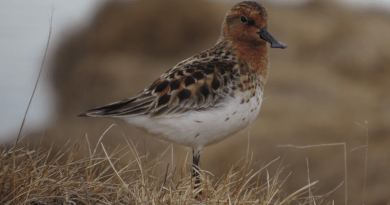 Male of critically endangered Spoon-billed Sandpiper (Calidris pygmaea) at a breeding ground, a species suffering higher nest predation rates recently, Chukotka, Arctic Russia. CREDIT: Vojtěch Kubelka