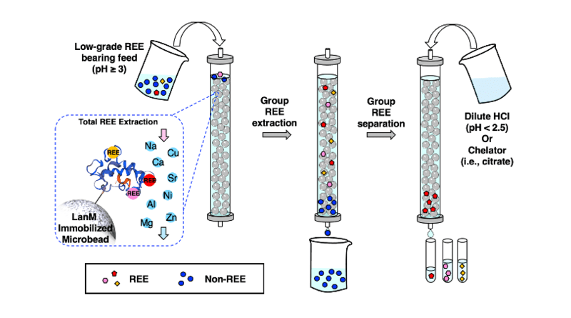 Low-grade sources of rare earth elements (REE), for example from industrial waste, typically contain many rare earth elements and other metals mixed together. A new extraction and separation method relies on a protein called lanmodulin (LanM) that first binds to all the rare earth elements in the source. Then other metals are drained and removed. By changing the conditions of the sample, for example by changing the acidity or adding ingredients called chelators, individual types of rare earth elements become unbound and can be collected. Even when a sample has very low levels of rare earth elements, this new procedure successfully extracts and separates heavy rare earth elements with high purity. CREDIT: Dong et al. 2021, ACS Central Science