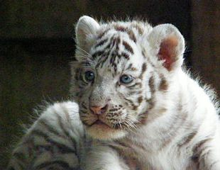 photo de bébé tigre