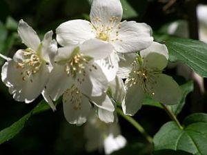 photo de fleurs de jasmin