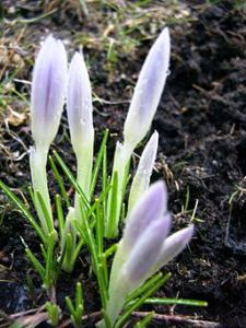 photo de crocus mauve