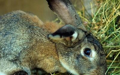 Je cherche à me documenter sur tout ce qui est en rapport avec les yeux du lapin y compris la position qui ne leur permet pas de voir correctement devant eux