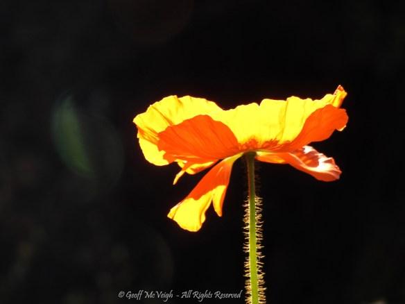Poppy by Geoff McVeigh