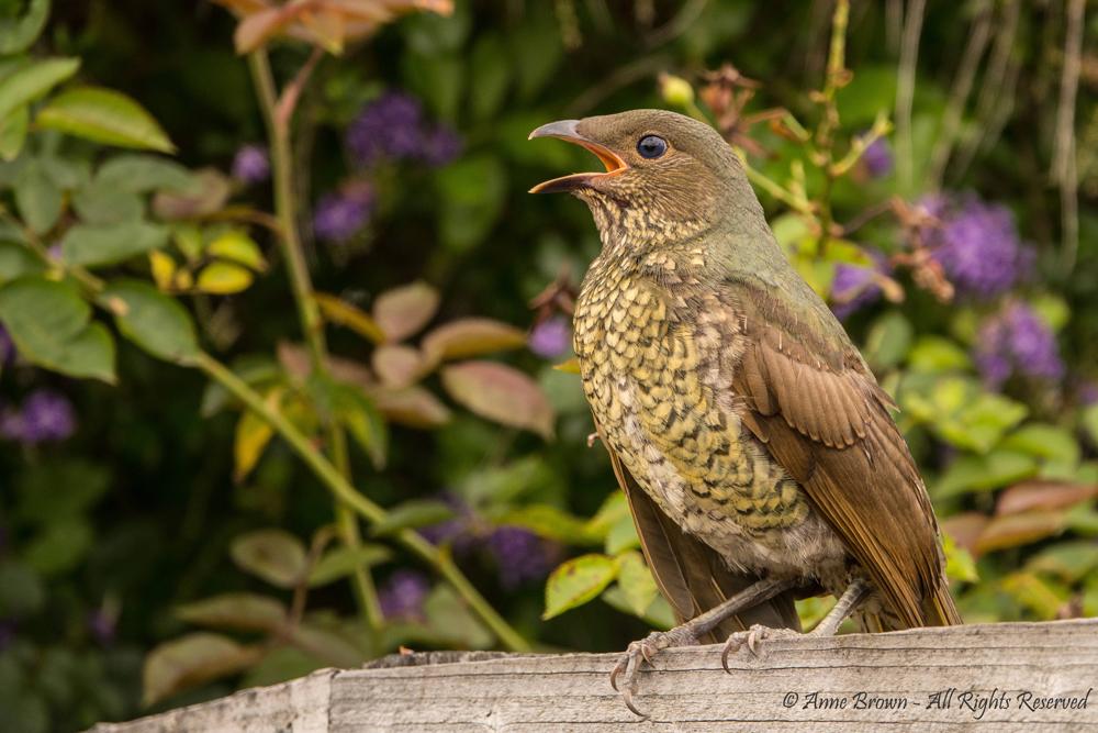 Satin Bowerbird by Anne Brown