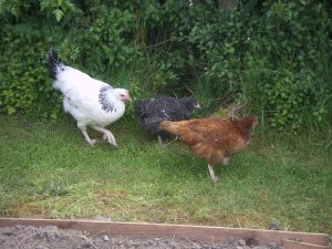 Our First Three Chickens, left to right - Daisy, Eileen and Betty