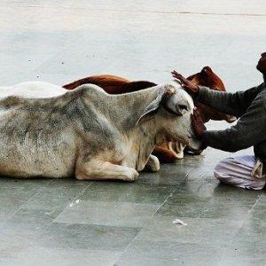 Indiaiak fejik a hegykői teheneket