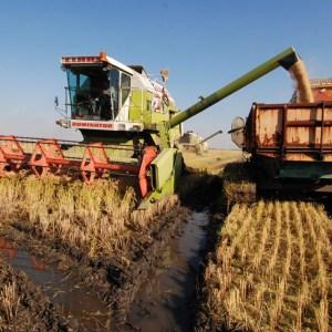 Mi a köze Sopronnak a rizshez ?