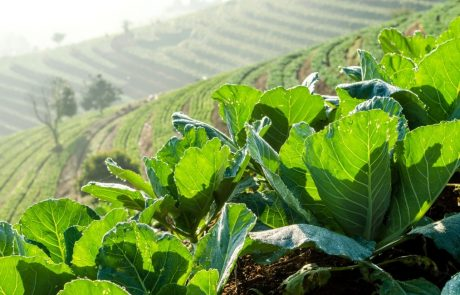 Newly discovered plant gene could help improve crop growth