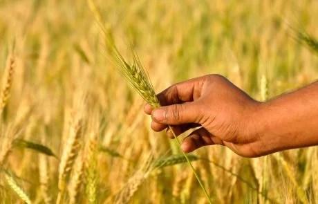 How can CRISPR technology improve plant breeding?