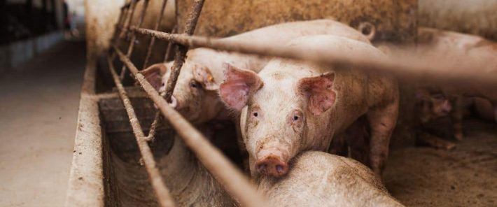 A new strain of swine flu in pigs in China has 'human pandemic potential'